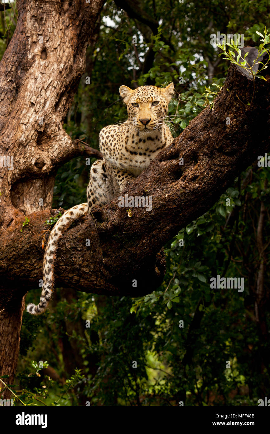 Image of: Spotted Cats The Leopard Is The Largest Of Spotted Cats In Africa Leopards Are Solitary Nocturnal Animals That Are Primarily Arboreal They Are Accomplished Tree Alamy The Leopard Is The Largest Of Spotted Cats In Africa Leopards Are