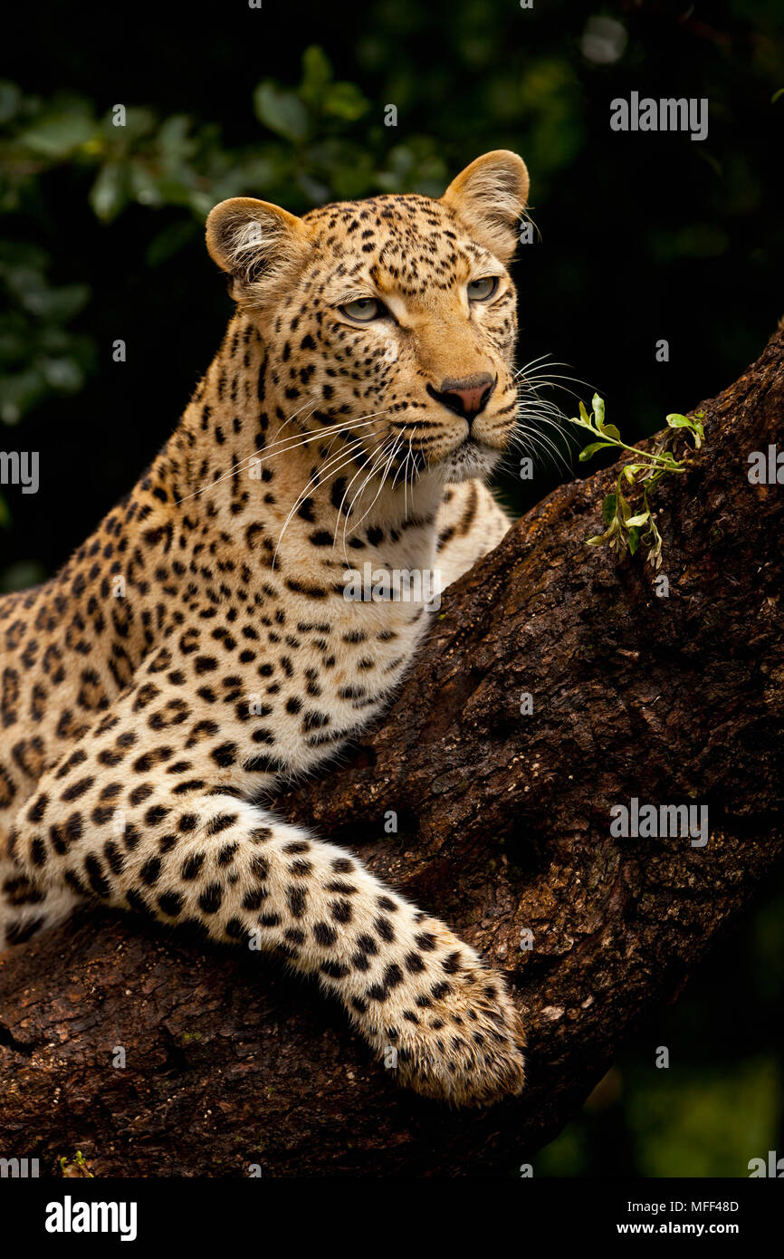 Image of: Kruger National The Leopard Is The Largest Of Spotted Cats In Africa Leopards Are Solitary Nocturnal Animals That Are Primarily Arboreal They Are Accomplished Tree Alamy The Leopard Is The Largest Of Spotted Cats In Africa Leopards Are