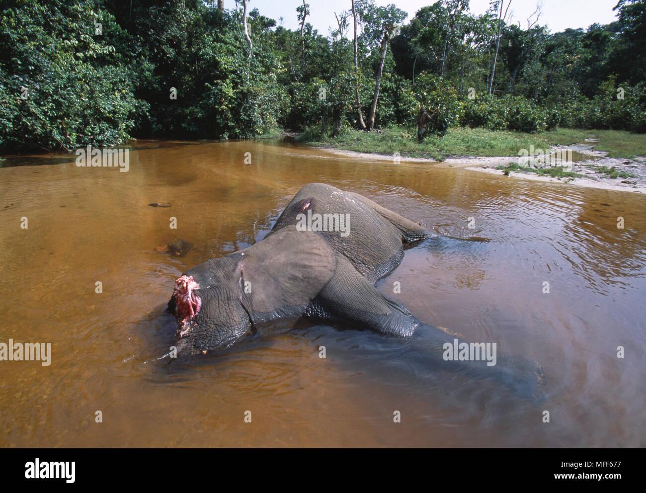 AFRICAN FOREST ELEPHANT Loxodonta africana cyclotis killed by poachers for tusks Dzanga- Ndoki Natl Pk, Central African Republic - Stock Image
