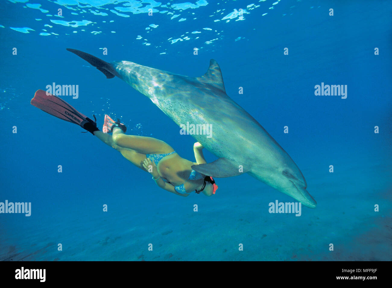 Grosser Tuemmler (Tursiops truncatus) und Schnorchlerin, Marsa Alam, Aegypten | Bottlenose dolphin (Tursiops truncatus), snorkeler, Marsa Alam, Egypt Stock Photo