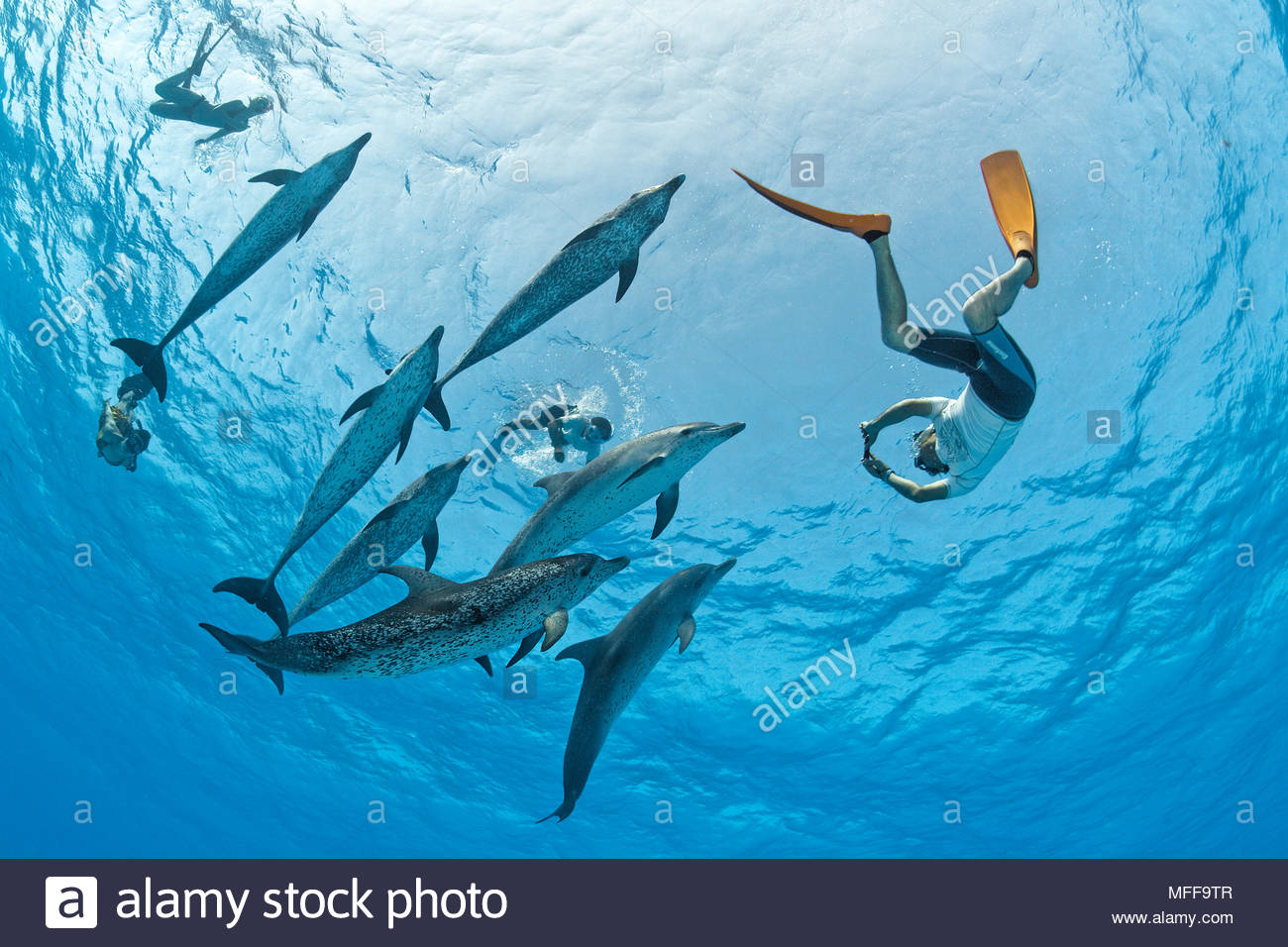 Snorkeler and Atlantic spotted dolphins (Stenella frontalis), Grand Bahama, Bahamas - Stock Image