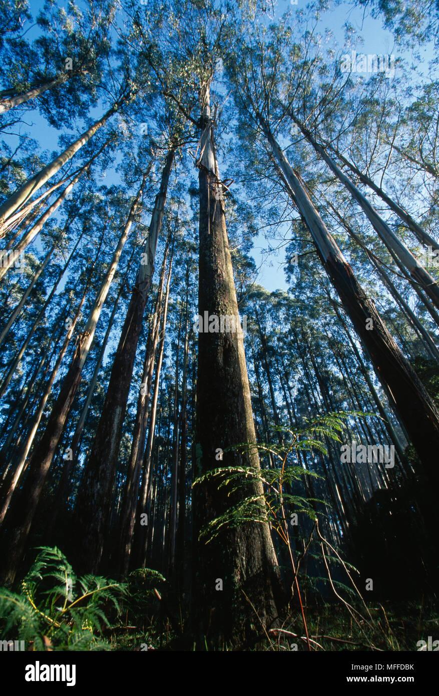 MOUNTAIN ASH  forest  Eucalyptus regnans  Australia - Stock Image