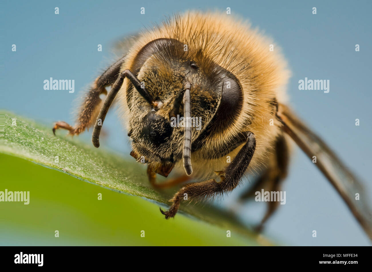 Honey bee - Stock Image