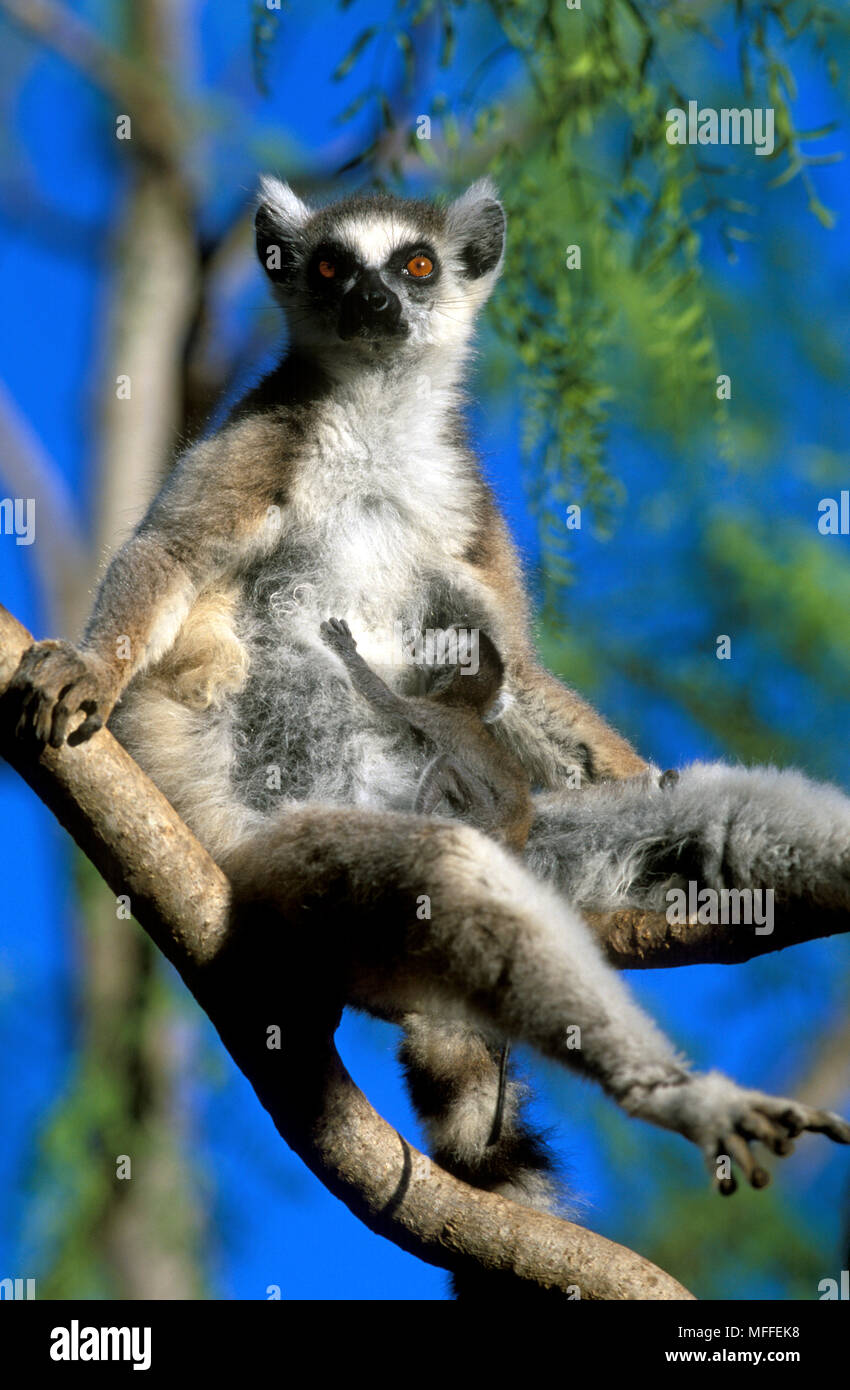 2fb3305418 RING-TAILED LEMUR female with baby Lemur catta in basking posture.  Madagascar. Endangered