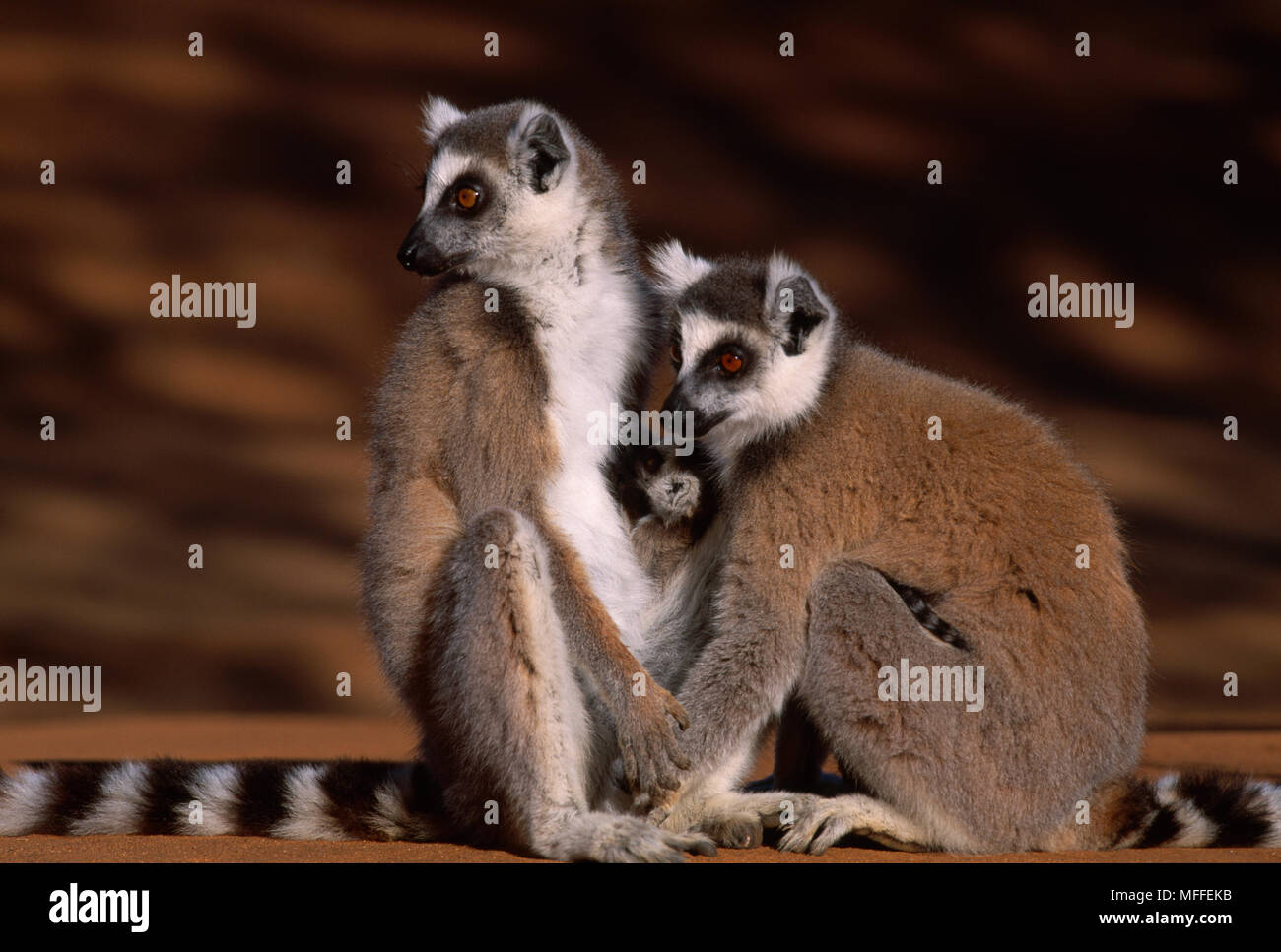 2368e0b859 RING-TAILED LEMURS Lemur catta two females with babies Madagascar.  Endangered species - Stock