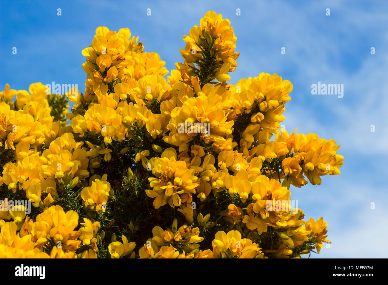Gorse bush yellow flowers stock photos gorse bush yellow flowers yellow flowers on a common whin bush or gorse displaying their full spring glory in county mightylinksfo Images