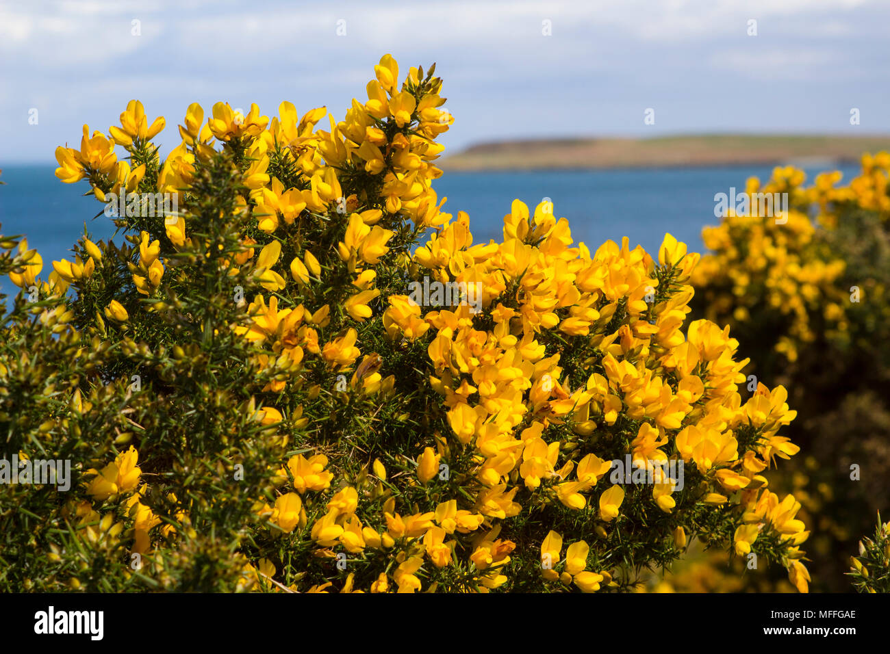 Yellow flowers on a common whin bush or gorse displaying their full yellow flowers on a common whin bush or gorse displaying their full spring glory in county down northern ireland these heavily thorned bushes are a c mightylinksfo