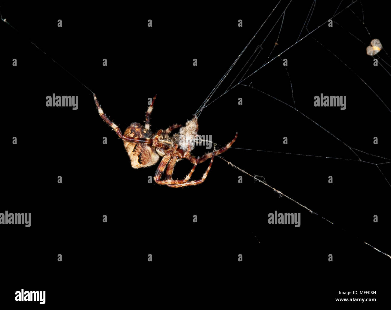 ORB WEAVER SPIDER (Araneus angulatus) A large and rare orb-weaving spider that builds webs of sometimes over 4 feet long - Stock Image