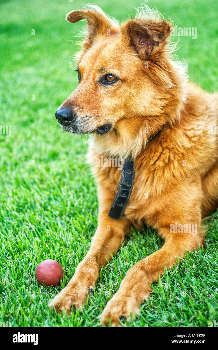 Domestic dog (Canis lupus familiaris) layed down on grass. Florianopolis, Santa Catarina, Brazil. - Stock Image