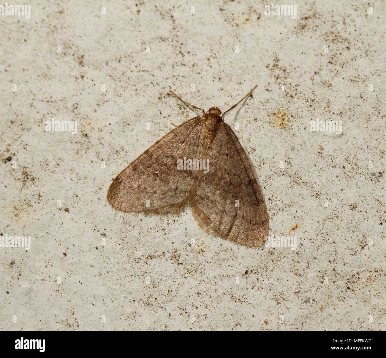 WINTER MOTH (Operophtera brumata) a winter flying moth from Oct - Jan, responsible for defoliating various trees particularly apple, Sussex, UK - Stock Image