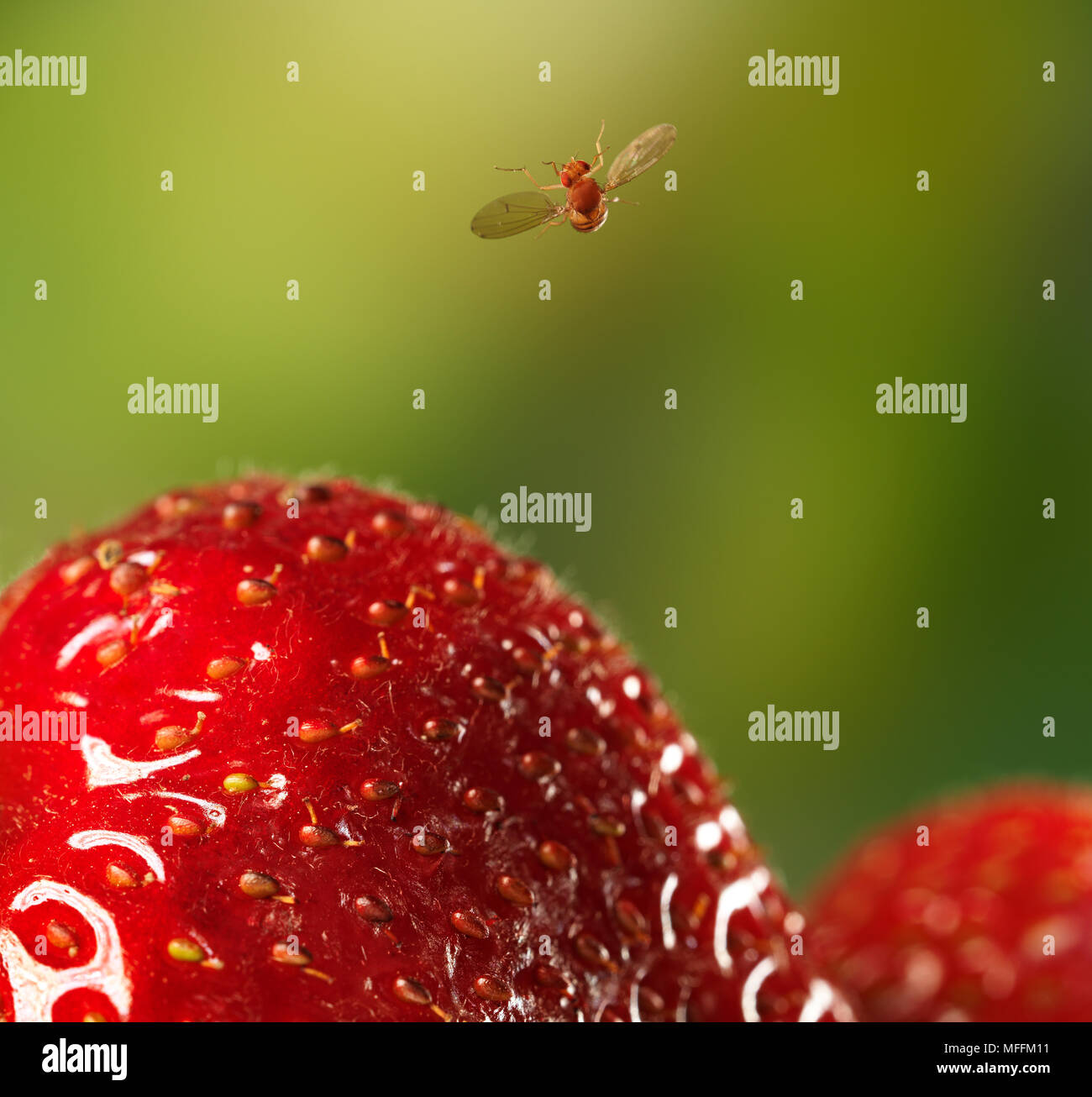 FRUIT-FLY (Drosophila melanogaster) in flight having just taken-off from strawberry. A 3mm fruitfly is caught at 1/60,000 sec as it flies over a straw Stock Photo