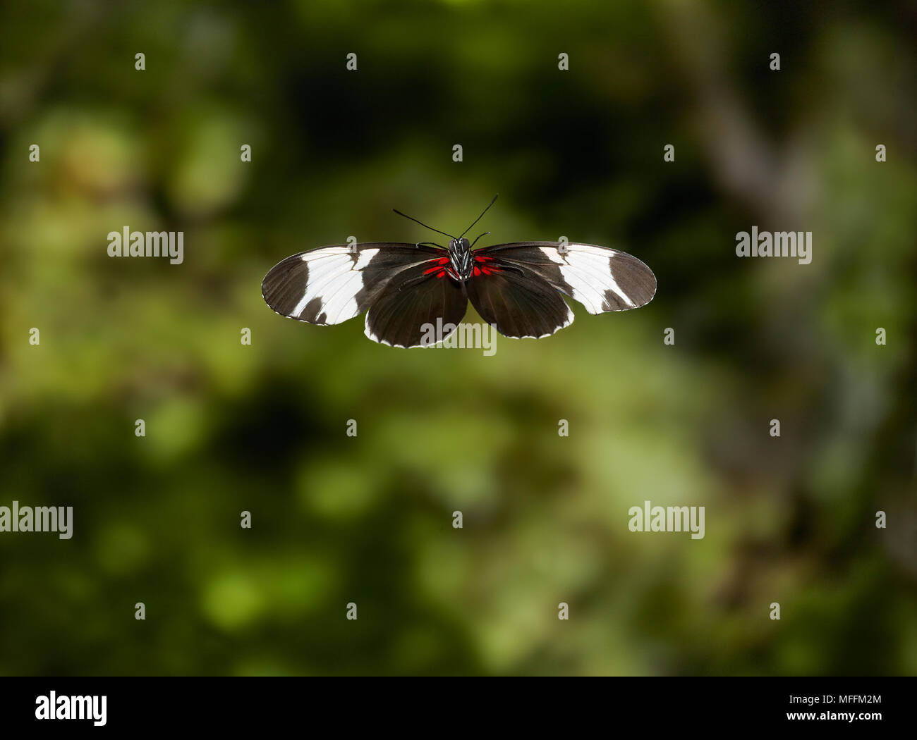 SAPHO HELICONIuS (Heliconius sapho) in flight,  HELICONIDAE, Central America. *HIGHER RATES APPLY* - Stock Image