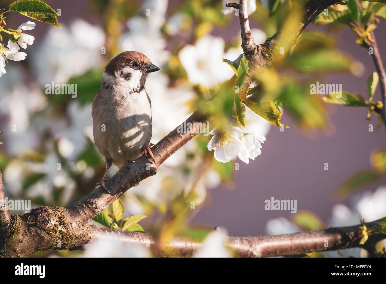 Horizontal photo of single male sparrow. Bird is perched on the twig of cherry tree. Other branches are full of fresh leaves and white blooms. Animal  - Stock Image