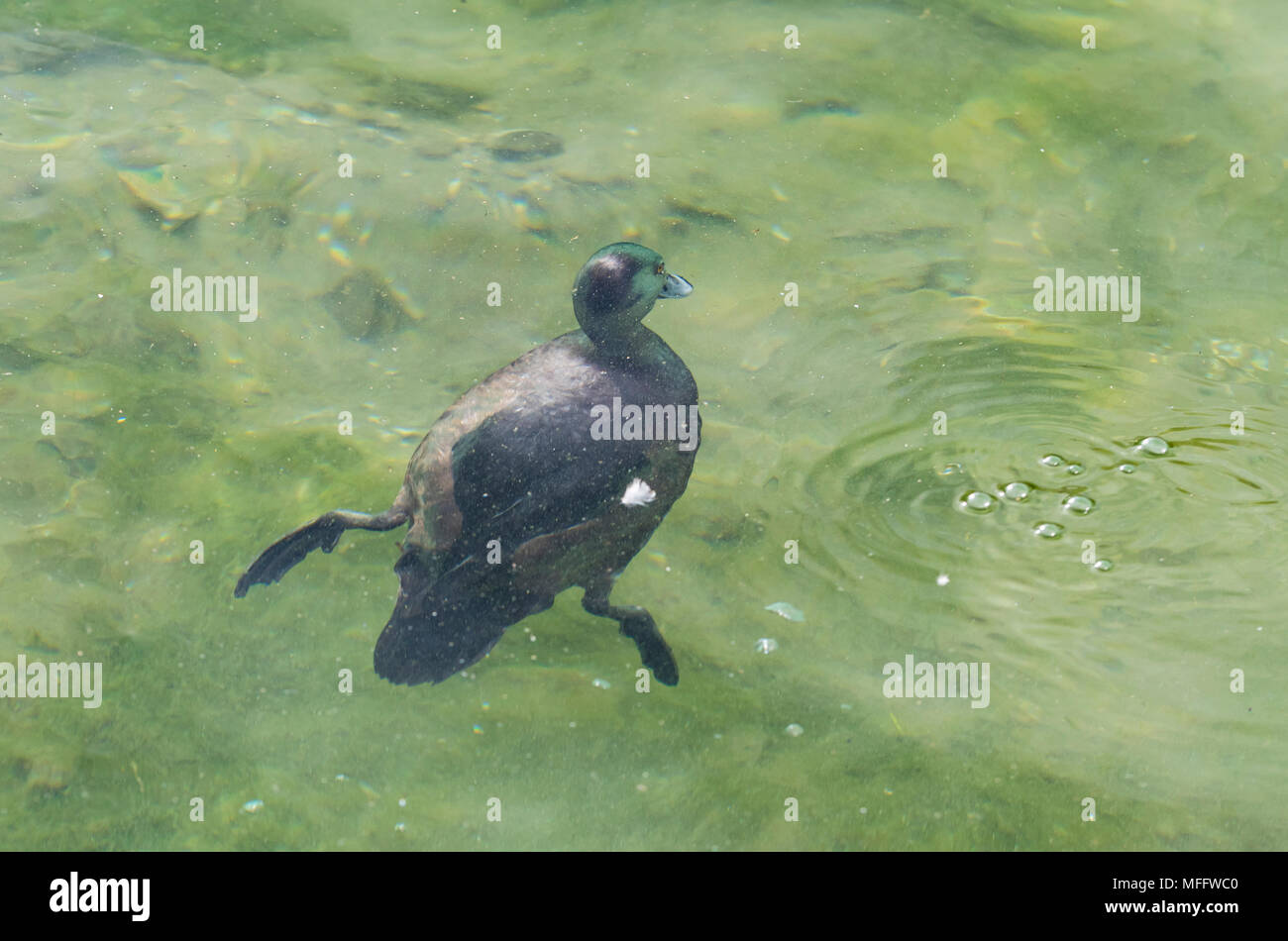 Eurasian Coot (Fulica atra), a water bird, completely submerged and swimming under water in West Sussex, England, UK. - Stock Image