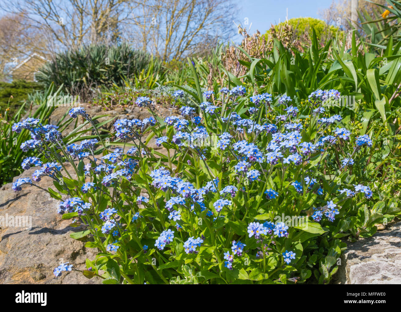 Forget-Me-Nots, AKA Scorpion Grasses, small blue flowers from the genus Myosotis, flowering in late Spring in the UK. Blue Forget-Me-Not. Stock Photo