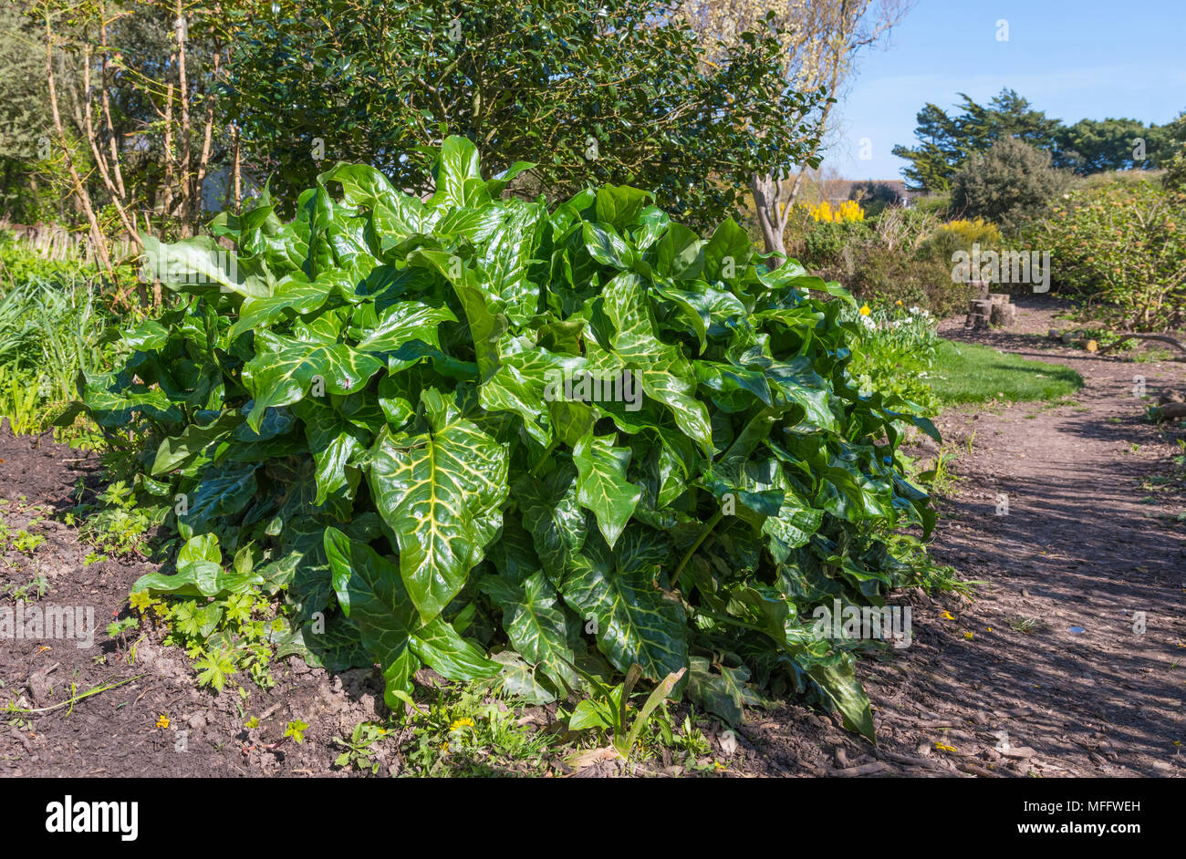 Bright green leaves with vivid yellow streaks on the Italian Lords and Ladies (Arum italicum) plant, growing in Spring in West Sussex, England, UK. - Stock Image