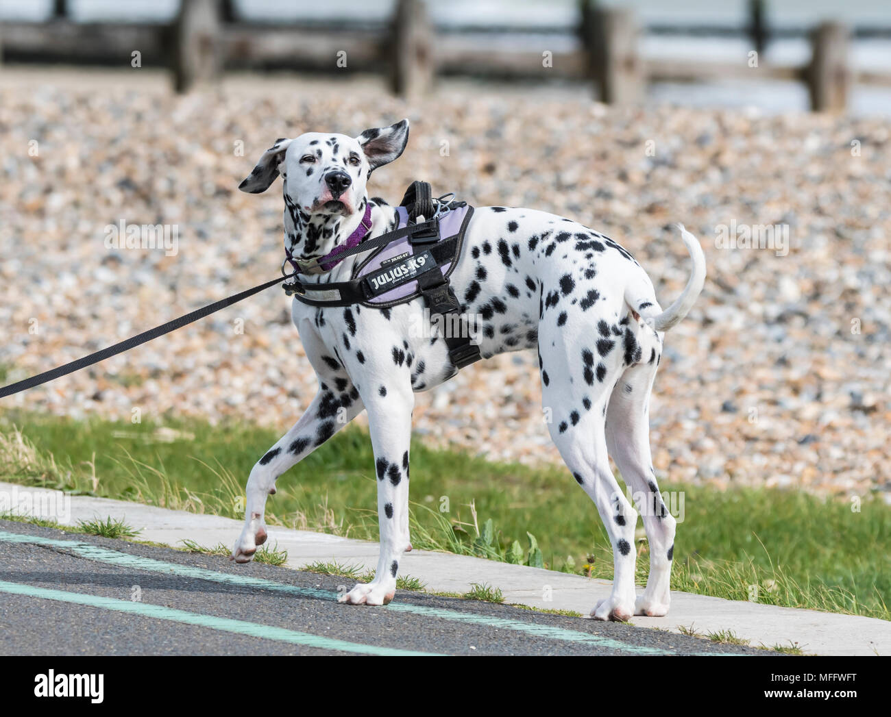 Large black and white spotted Dalmatian dog standing in the UK. - Stock Image