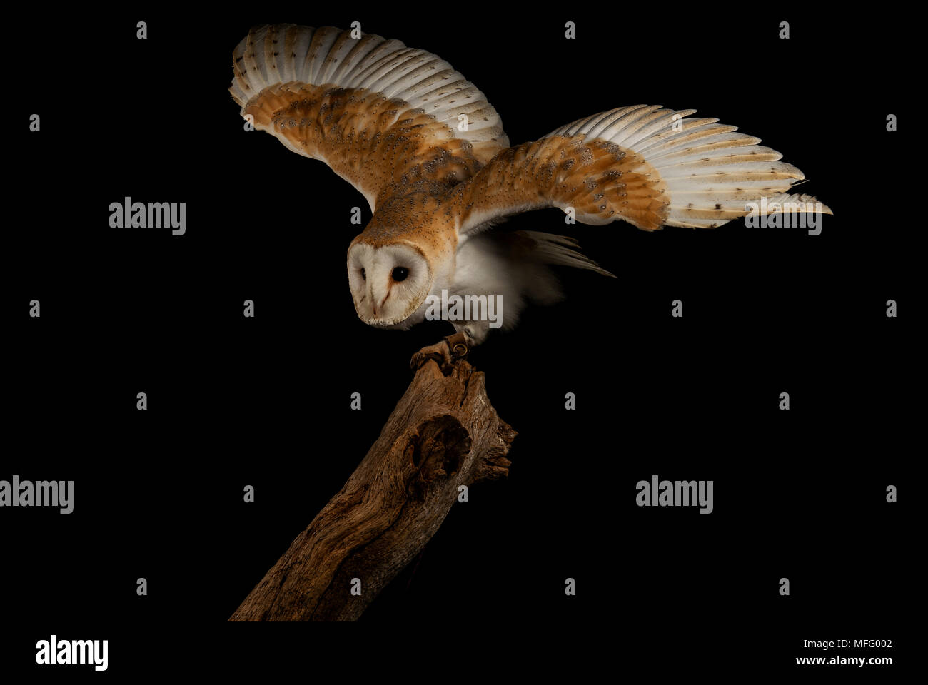 Barn owl with is wings raised for flight - Stock Image