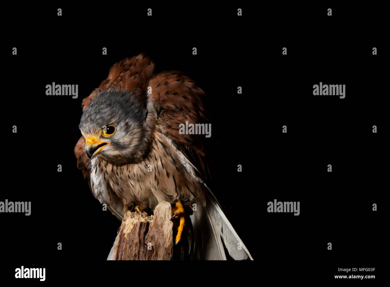 Amercian kestlrel in a studio shoot - Stock Image