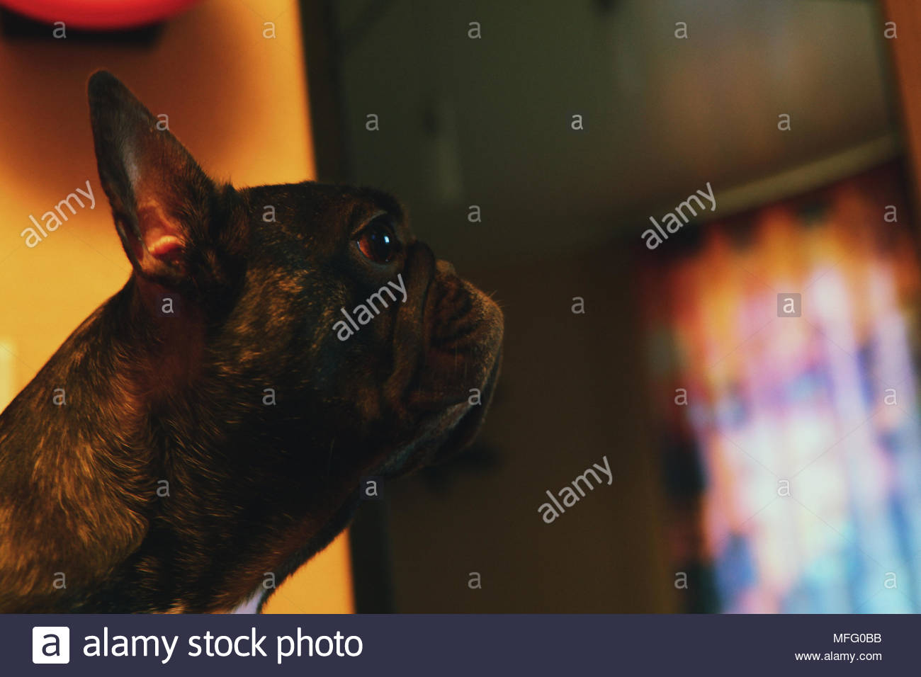 Black French Bulldog Portrait home interior - Stock Image