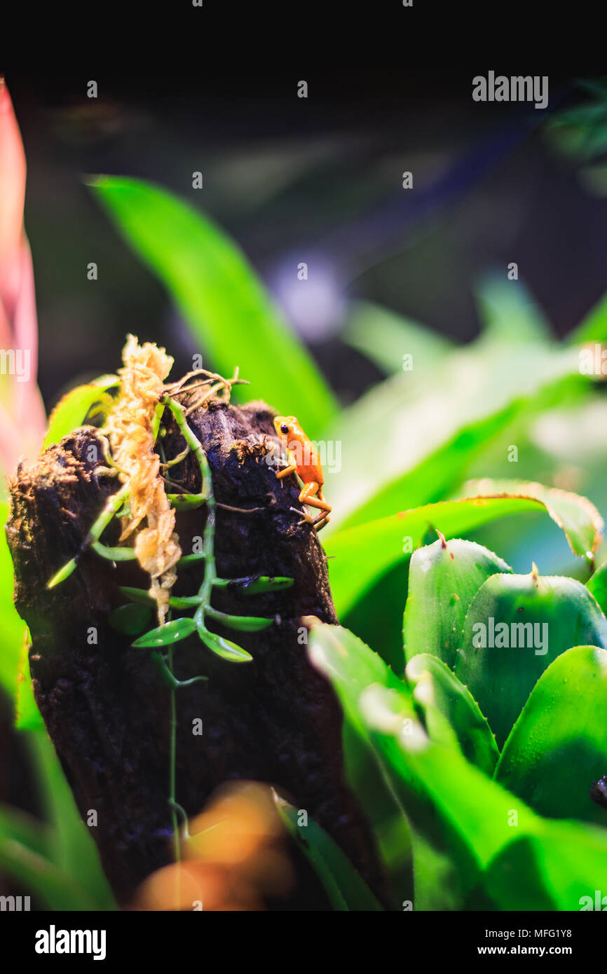 Closeup of a Golden Poison Arrow Frog in natural rainforest environment - Stock Image