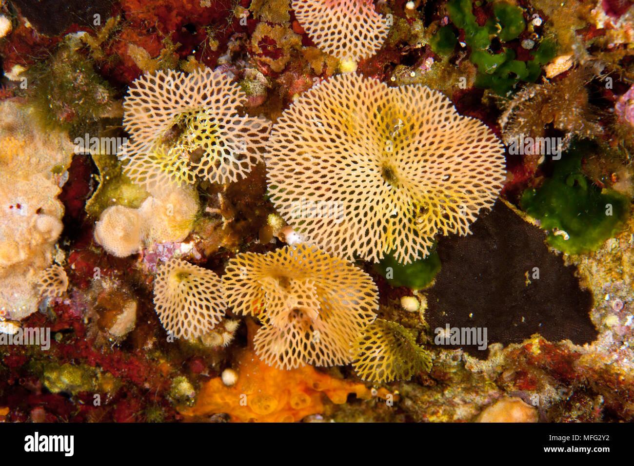 Bryozoa, Sertella septentrionalis , Ponza island, Italy, Tyrrhenian Sea, Mediterranean Stock Photo