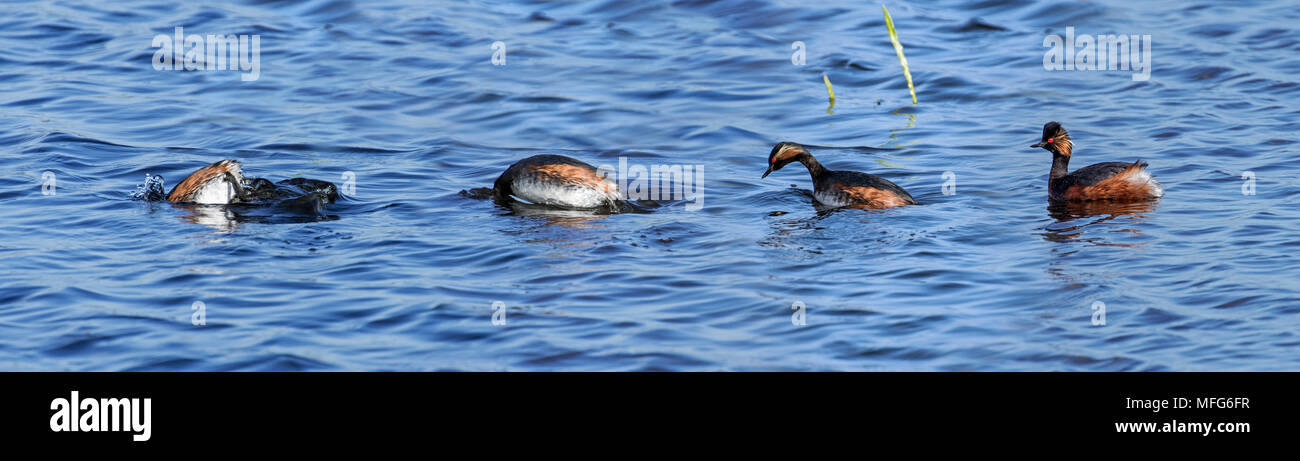 Black-necked grebe / eared grebe (Podiceps nigricollis) in breeding plumage in spring. Diving sequence - Stock Image