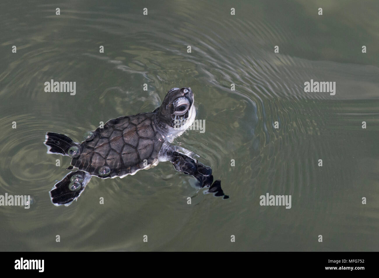Green sea turtle hatchling  Chelonia mydas  swimming in Tortuguero National Park  Costa Rica. - Stock Image