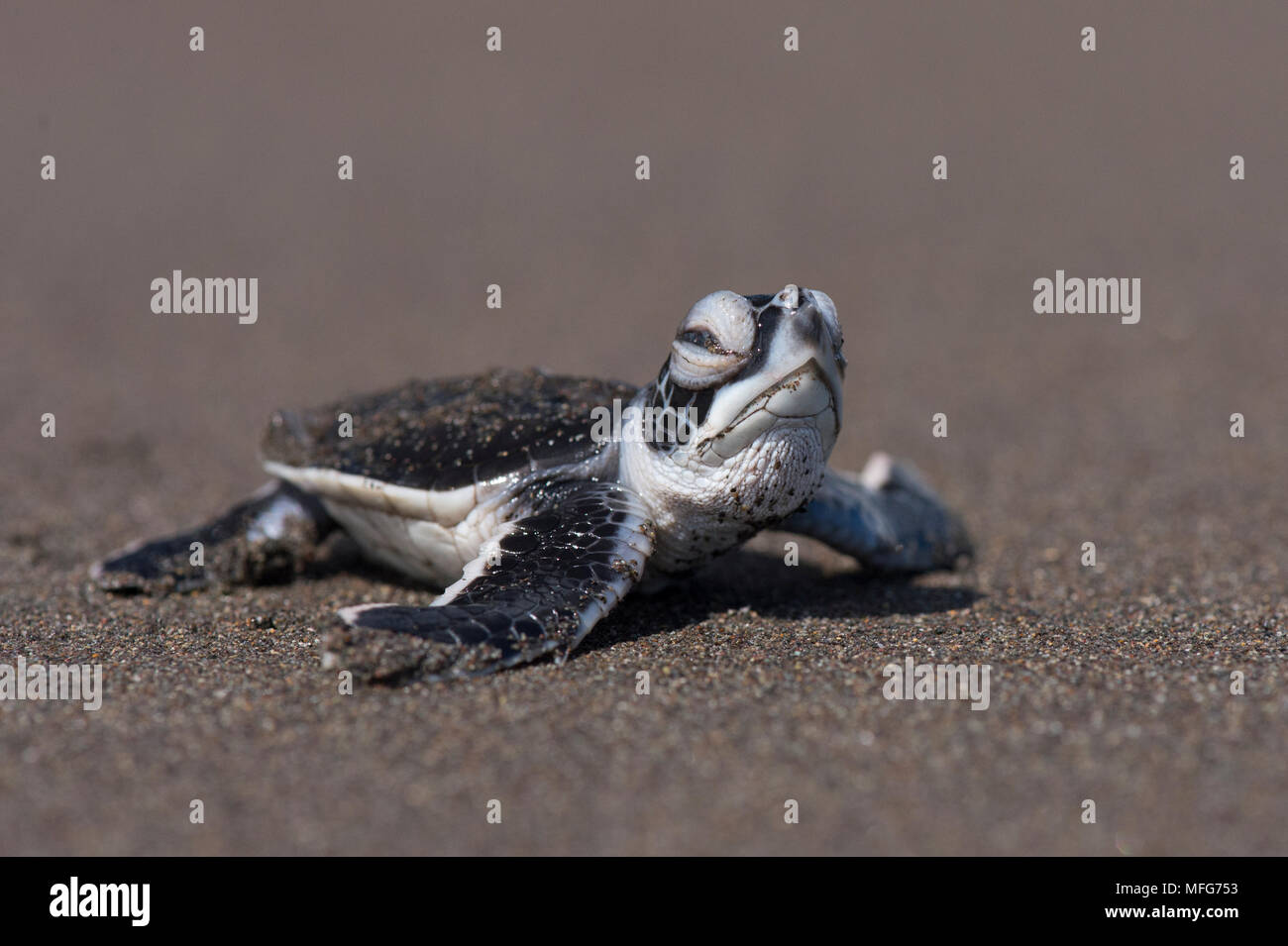 Green sea turtle hatchling  Chelonia mydas  emerging from nest in Tortuguero National Park  Costa Rica. - Stock Image