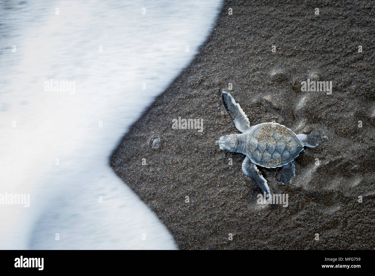 Green sea turtle hatchling  Chelonia mydas  entering the ocean in Tortuguero National Park  Costa Rica. - Stock Image