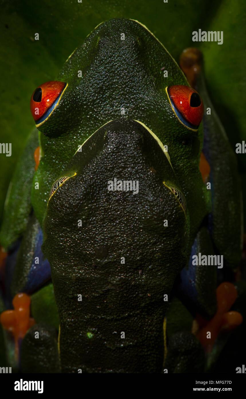 Red-eyed tree frogs, Agalychnis callidryas, in amplexus in Tortuguero National Park, Costa Rica - Stock Image