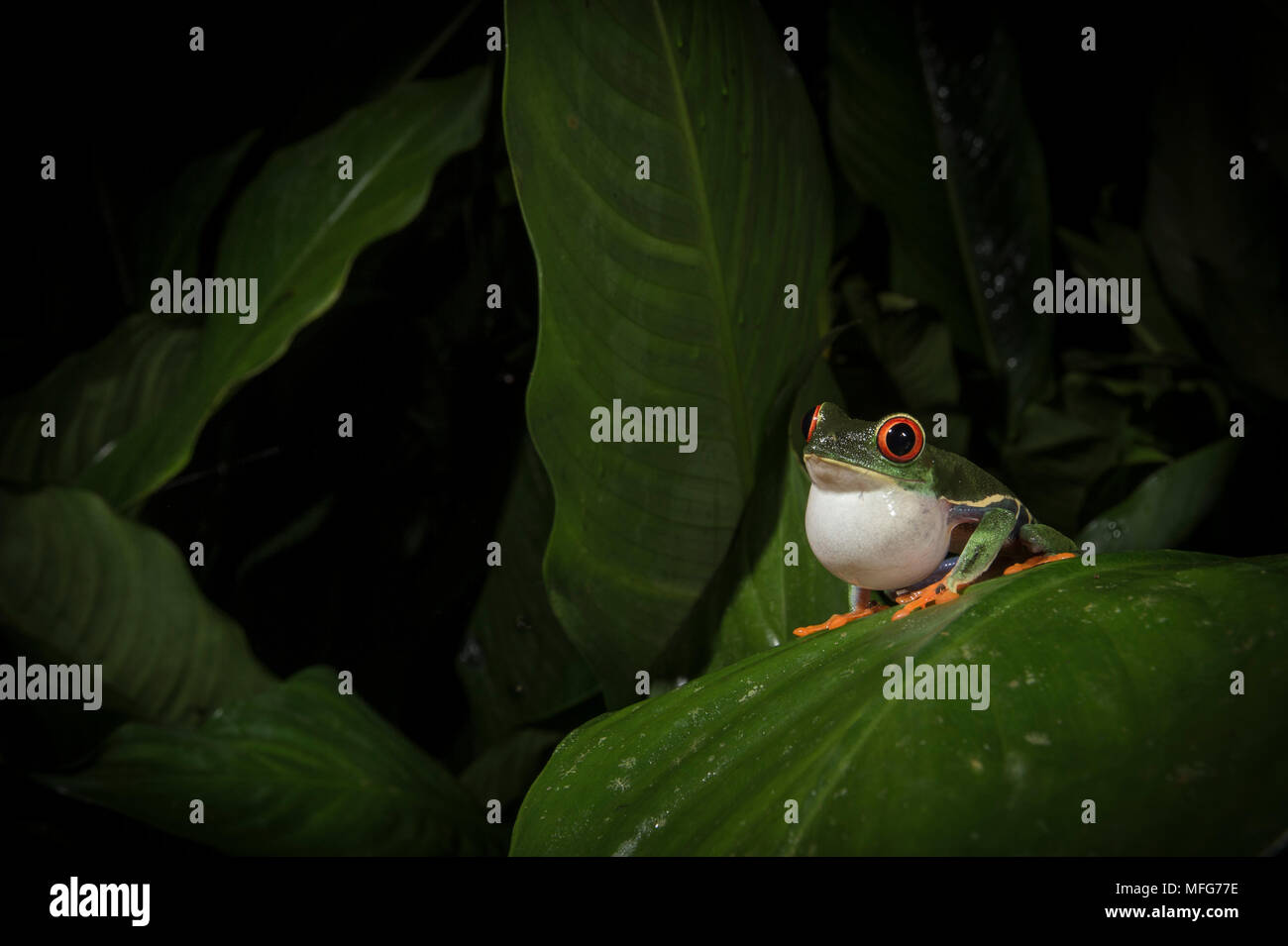 Red-eyed tree frog, Agalychnis callidryas, calls to attract a mate in the rainforest of Tortuguero National Park, Costa Rica - Stock Image