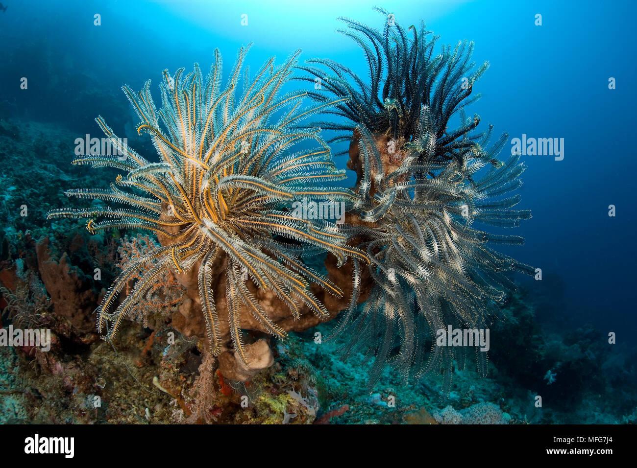 Crinoids, Oxycomanthus bennetti, Garden Eels dive site, Menjangan Island, Bali Island, Indonesia, Pacific Ocean  Date: 22.07.08  Ref: ZB777_117071_005 - Stock Image