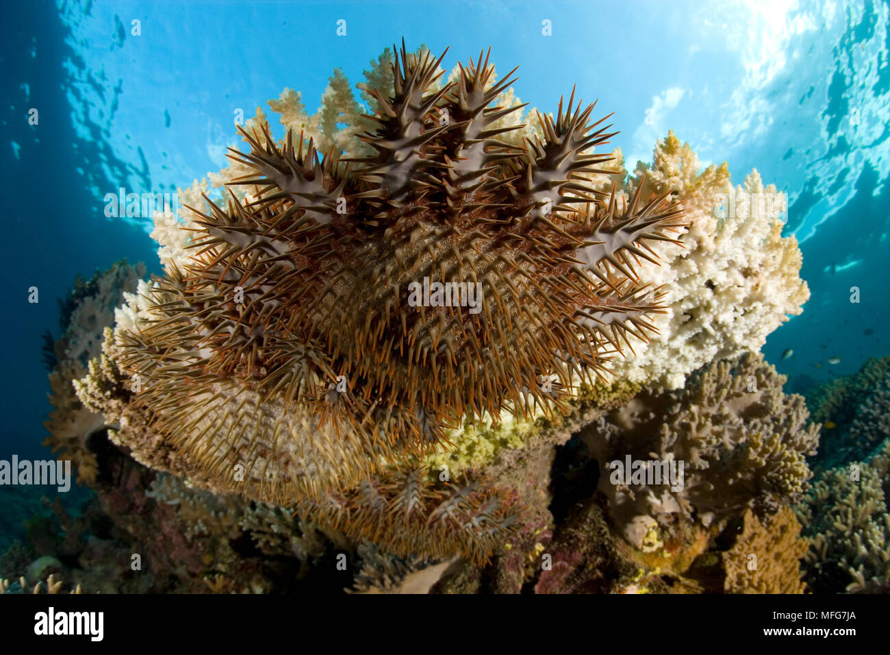 Crown-of-Thorns, Acanthaster planci, feeding on coral, Garden Eels dive site, Menjangan Island, Bali Island, Indonesia, Pacific Ocean  Date: 22.07.08 - Stock Image