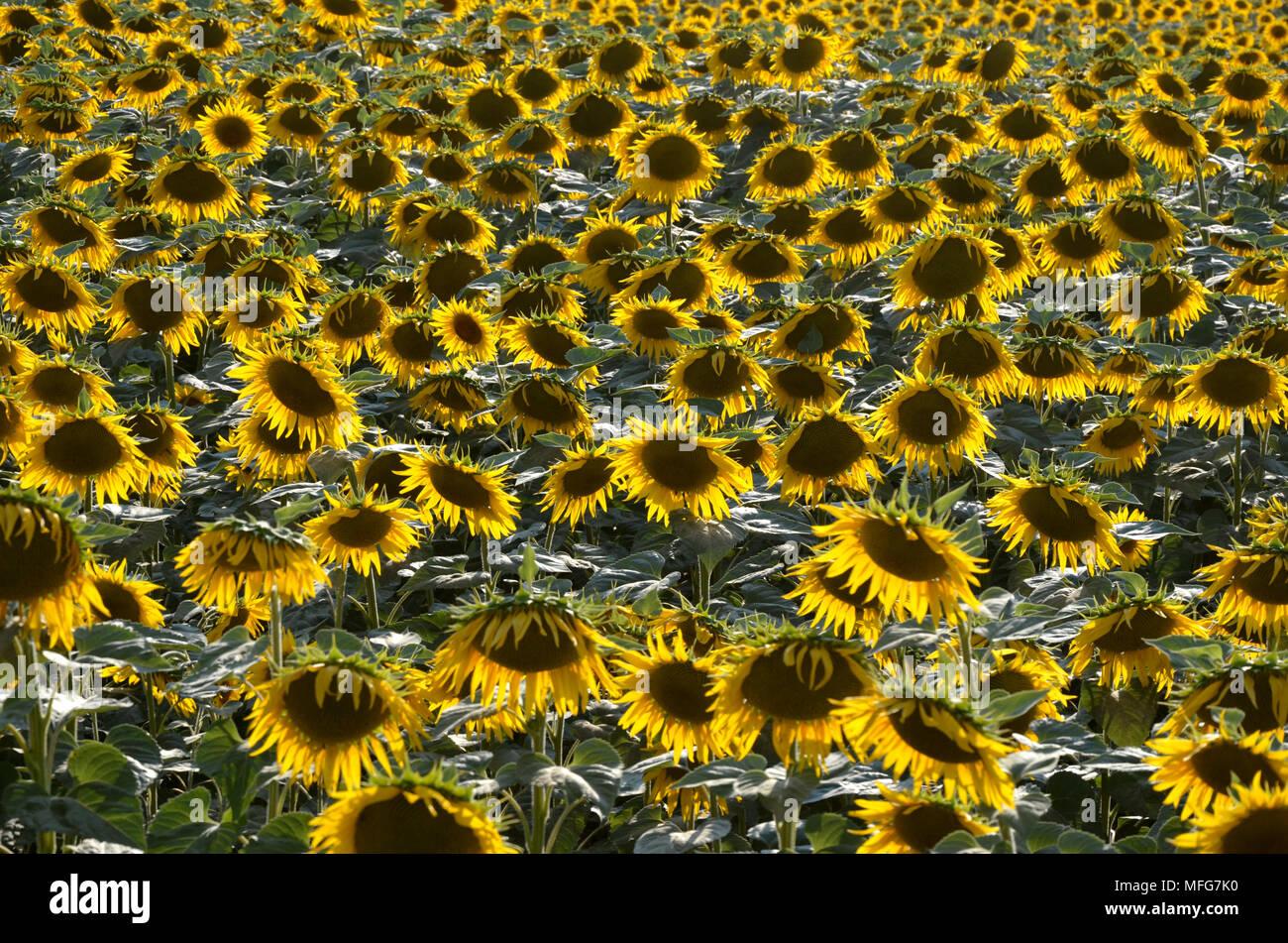 Sunflowers field summer landscape - Stock Image