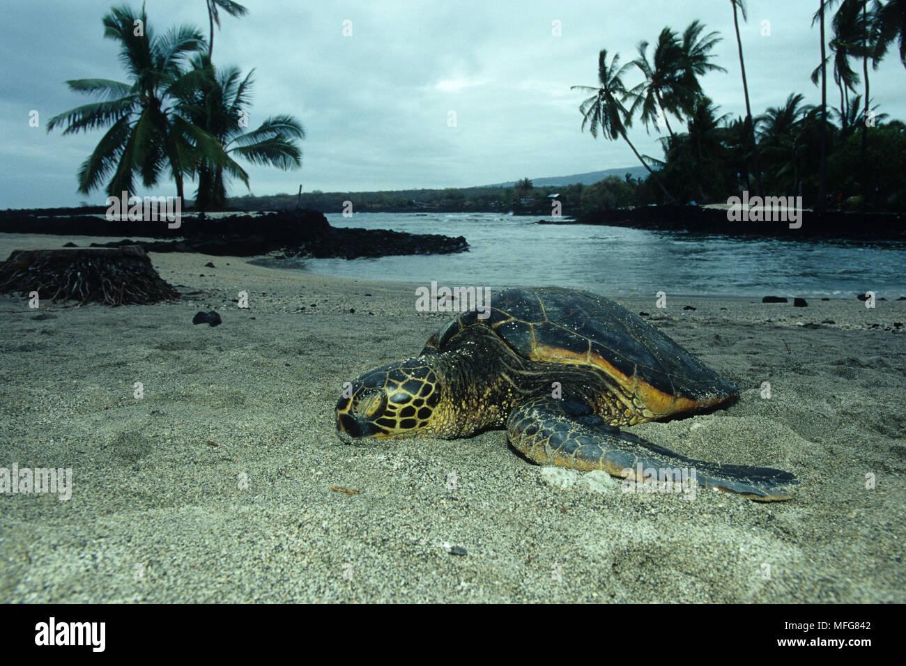 Green sea turtle, Chelonia mydas, endangered (IUCN), sleeping, Place of Refuge, Pu'uhonua or Honaunau, Kona, Big Island, Hawaii, Pacific Ocean  Date:  - Stock Image