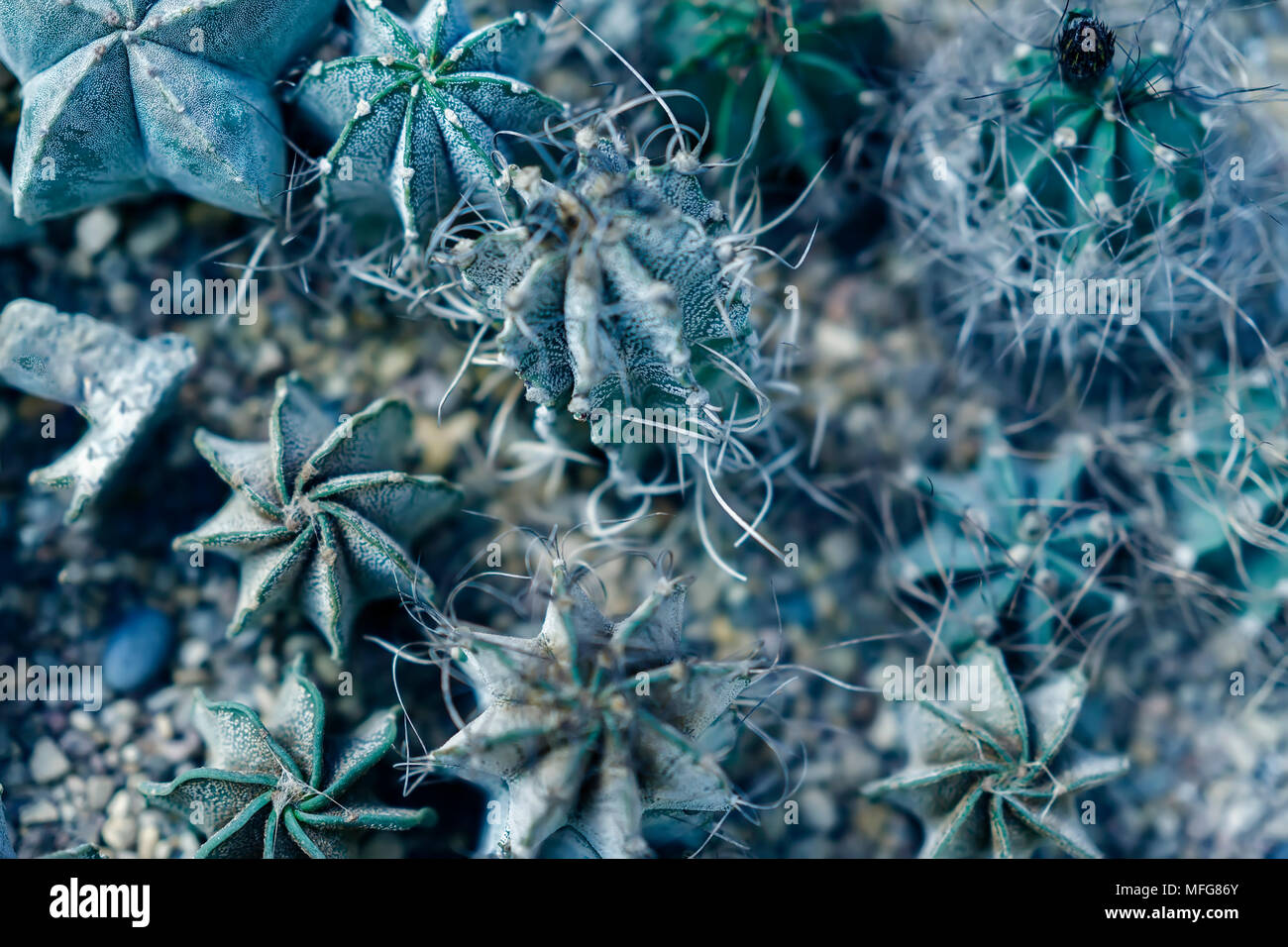Assortment of varied succulent plants, cactuses. Modern fashionable pattern texture, exotic spiny background - Stock Image