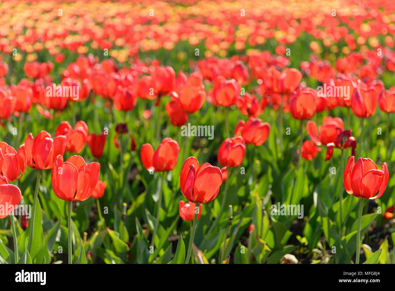 Many spring tulips in the garden - Stock Image