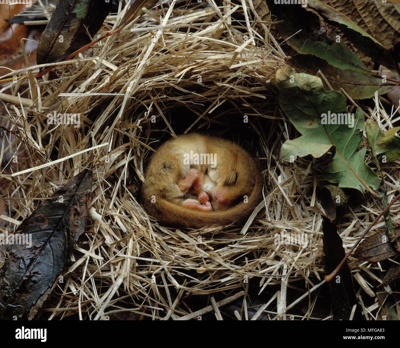 HAZEL DORMOUSE Muscardinus avellanarius hibernating - Stock Image