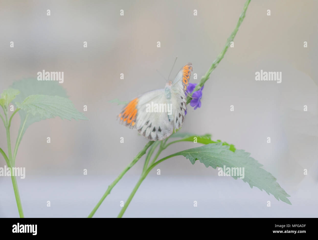 soft focus orange tipped butterfly - Stock Image