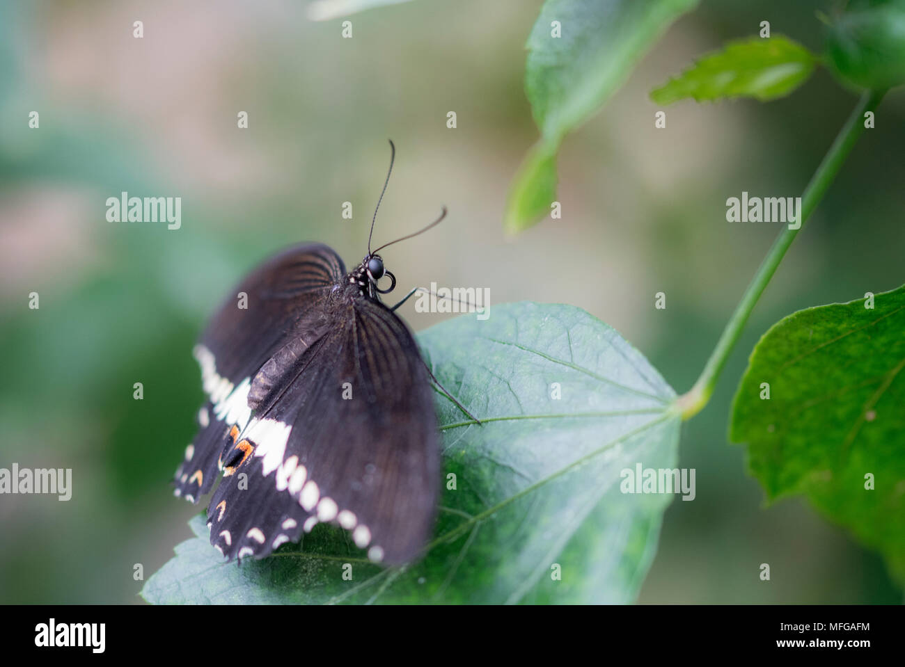 Macro butterfly on soft focus background - Stock Image