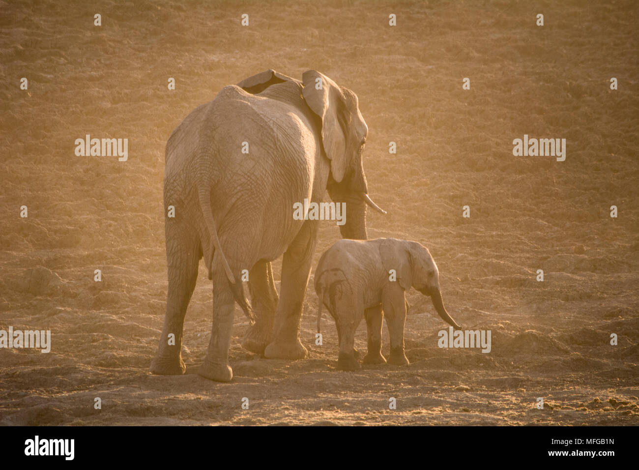 Mother and calf elephant walking off into the setting sun - Stock Image