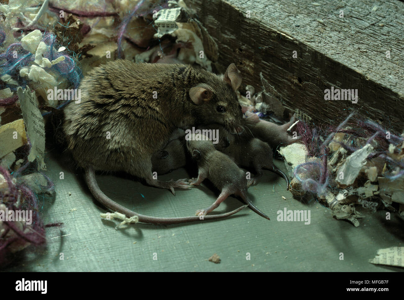 HOUSE MOUSE female Mus musculus suckling young - Stock Image