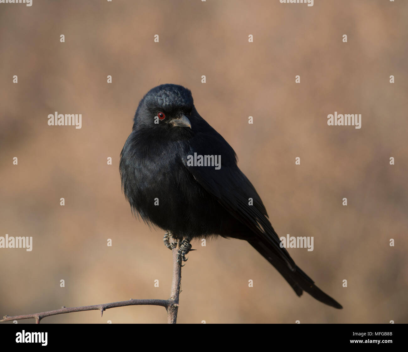 Drongo with red eyes in South Africa - Stock Image