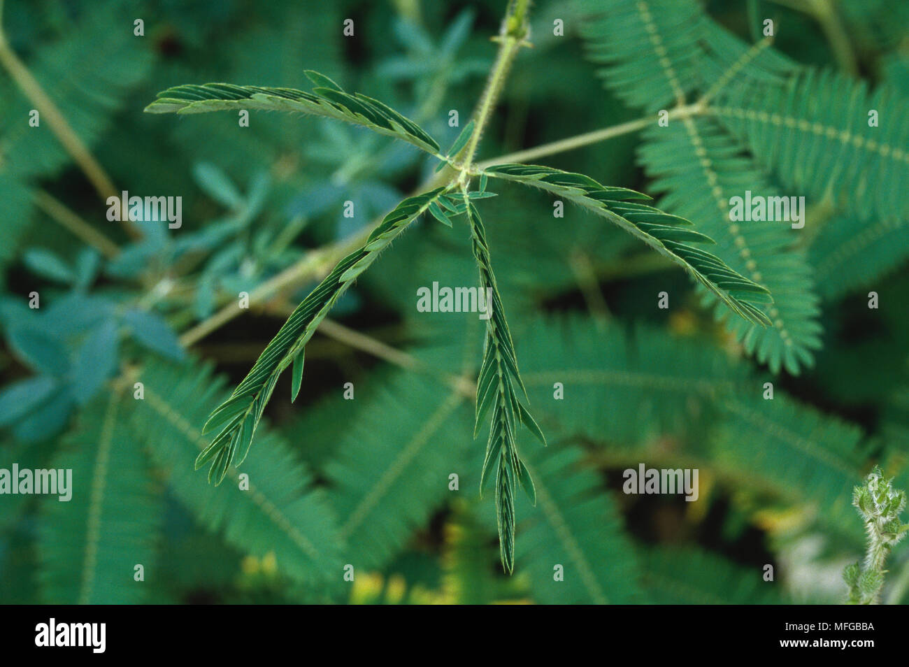 Tactile Or Sensitive Mimosa Mimosa Pudica Collapsed Example Of
