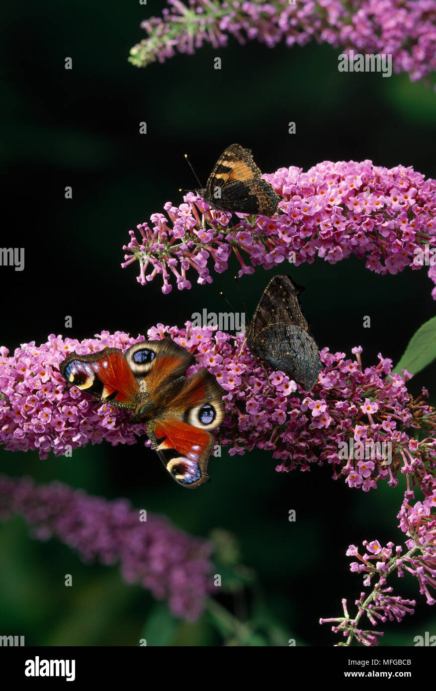 PEACOCK and SMALL TORTOISESHELL  BUTTERFLIES     Vanessa or  io and Aglais urticae on Buddleia - Stock Image