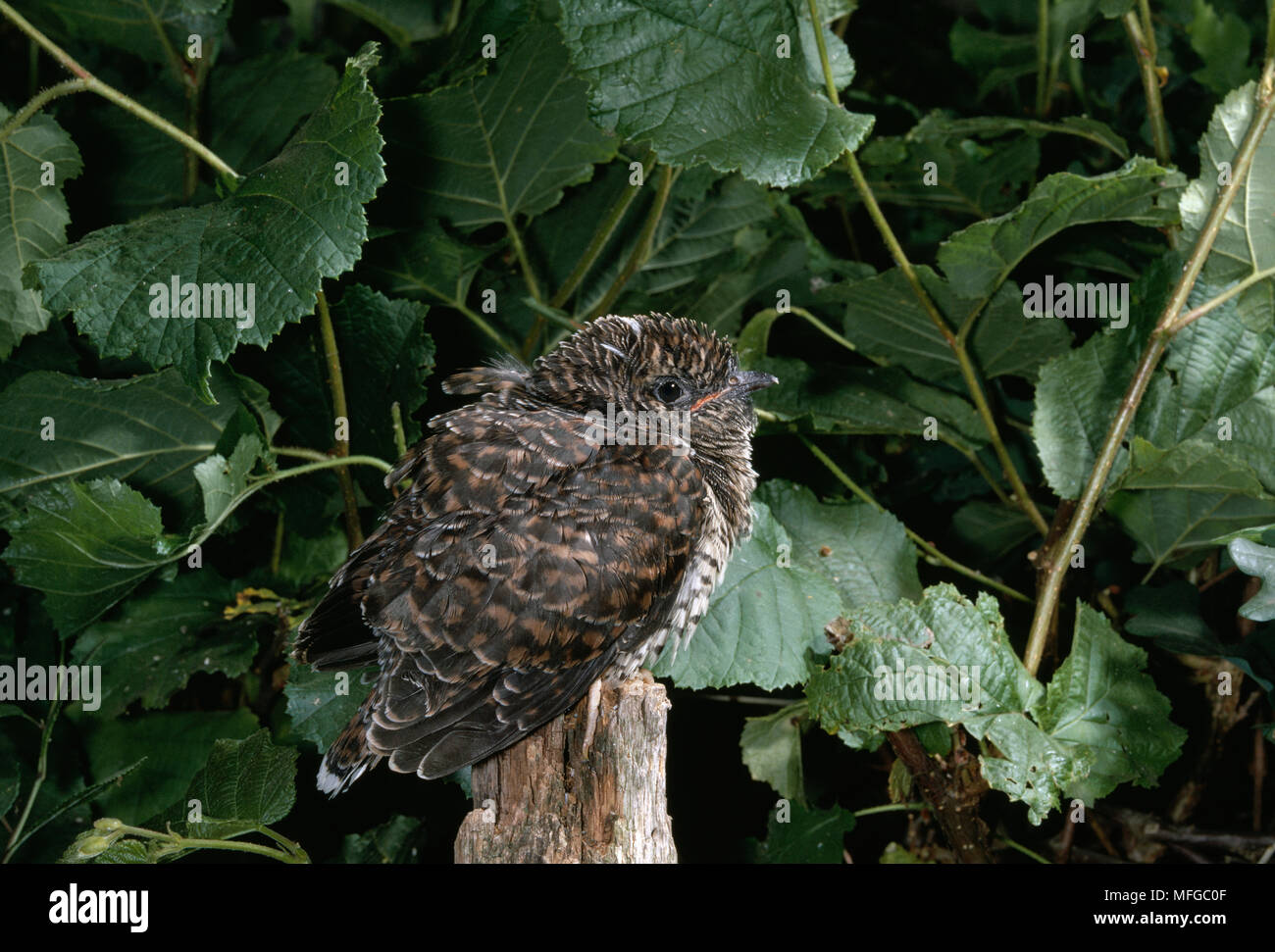 CUCKOO fledged young  Cuculus canorus  perched on fence post - Stock Image