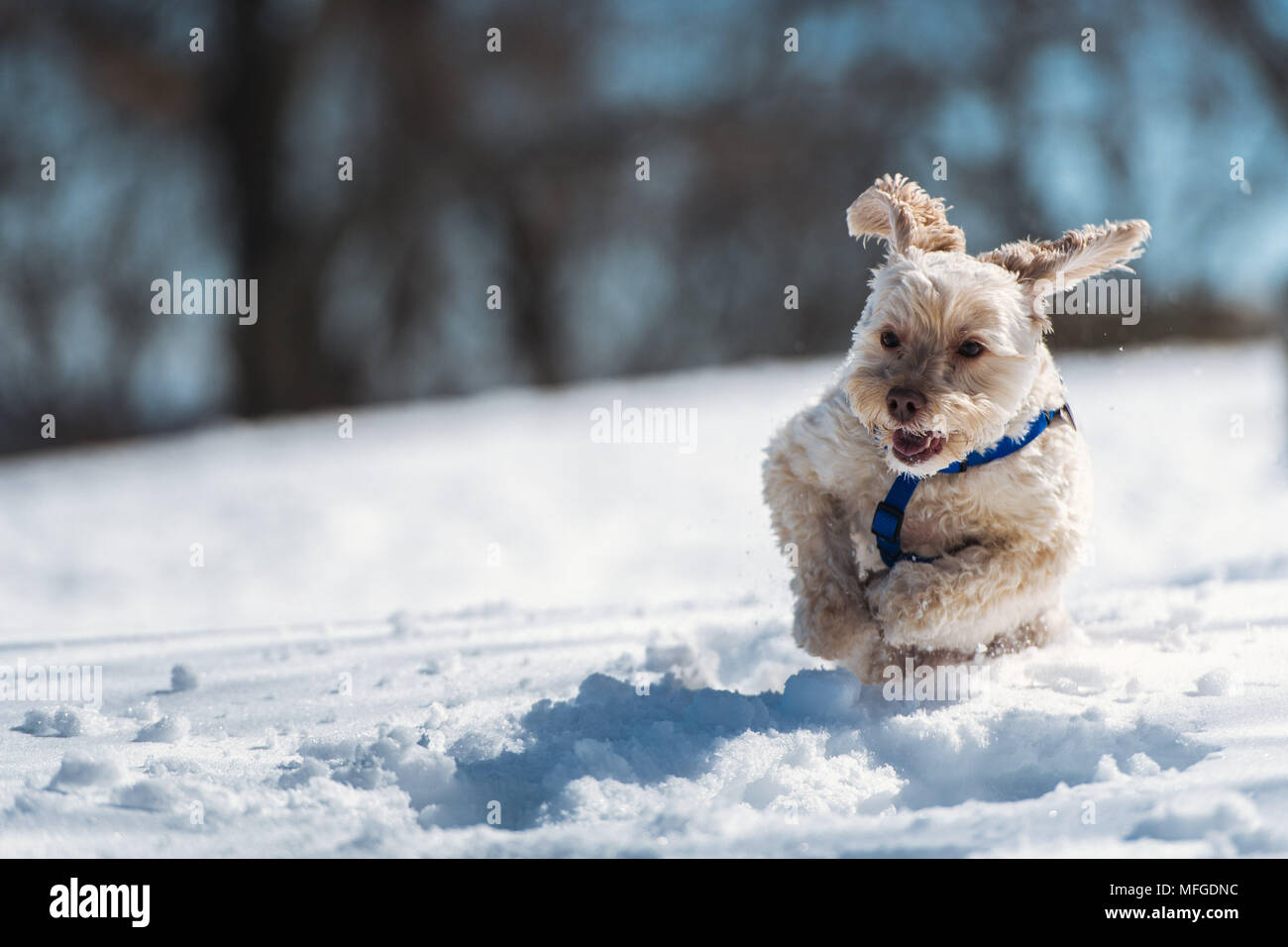 A dog running in the snow at the Arnold Arboretum Of Harvard