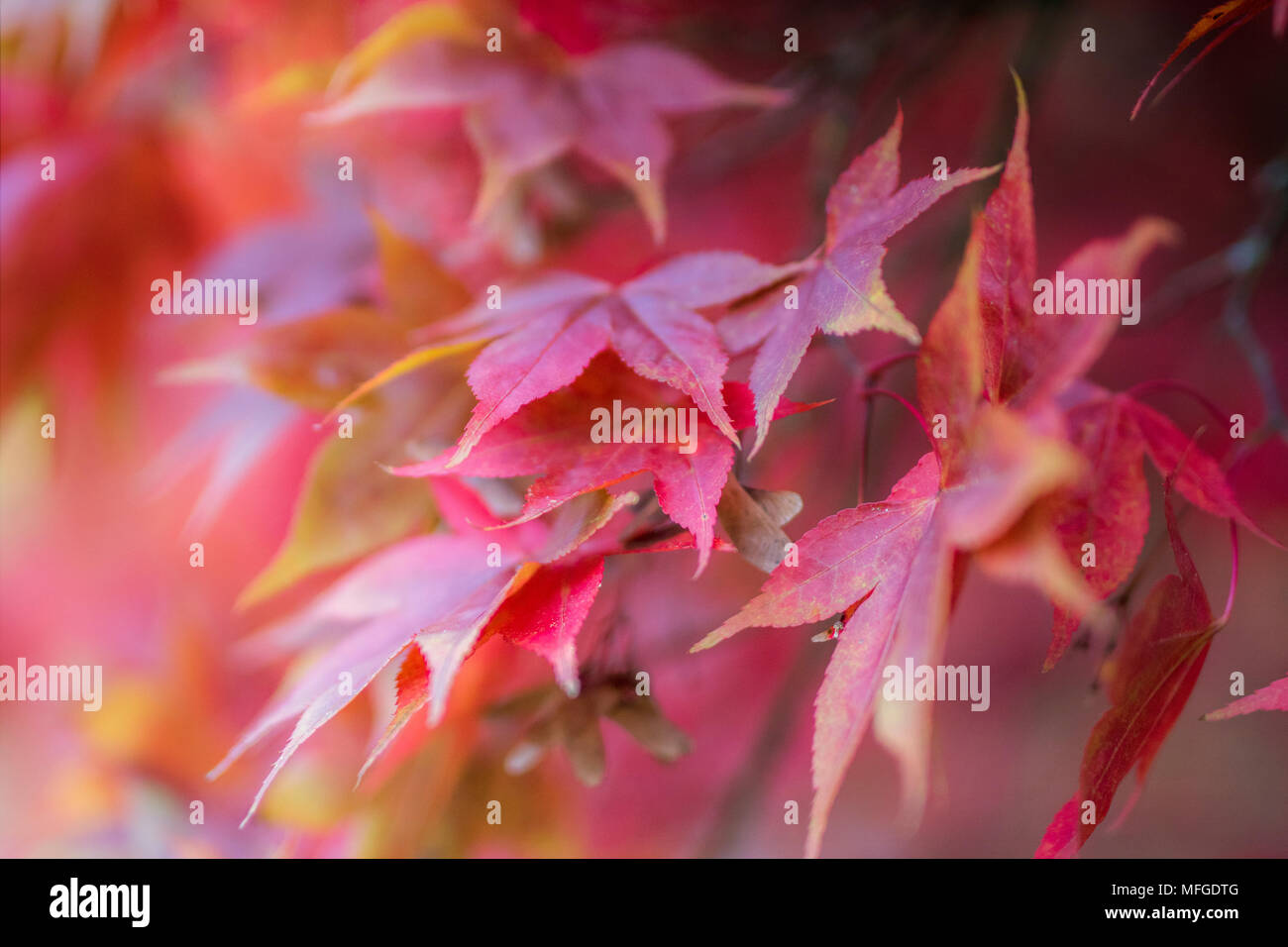 Soft focus pink shades of autumn leaves - Stock Image