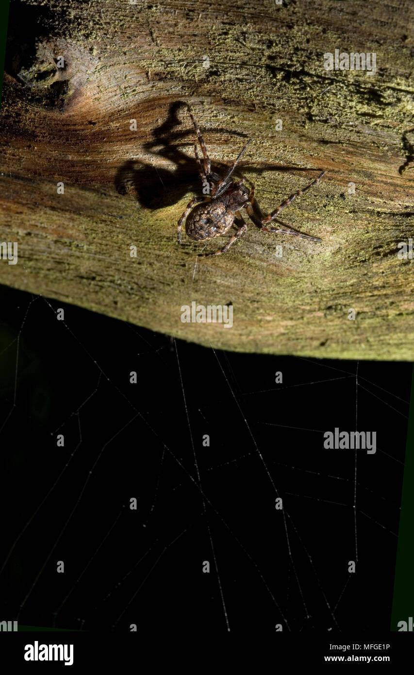 ORB WEAVER Nuctenia umbratica Araneidae UK - Stock Image